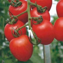 Pomidor Zambra F1 - 250 nasion