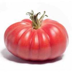 Pomidor Monterosa F1 - 250 nasion
