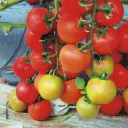 Pomidor Firamo F1 - 250 nasion