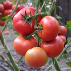 Pomidor Panormus F1- 250 nasion