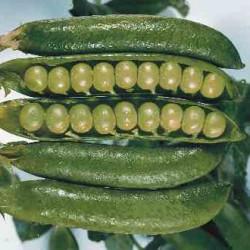 Groch zielony Senador Cambados - 1 kg
