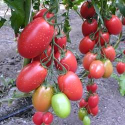 Pomidor Aubade F1 - 100 nasion