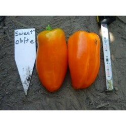 Papryka Orangadya F1  - 1000 nasion