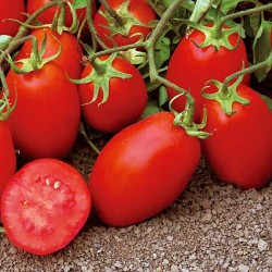 Pomidor Gades F1 - 1000 nasion