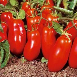 Pomidor Gladis F1 - 1000 nasion