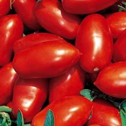 Pomidor Talent F1 - 1000 nasion