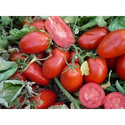 Pomidor Tales F1 - 1000 nasion