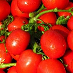 Pomidor Advisor F1 - 1000 nasion