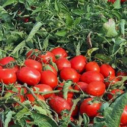 Pomidor Asset F1 - 1000 nasion