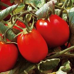 Pomidor Caliendo F1 - 1000 nasion