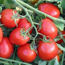 Pomidor Upgrade F1 - 1000 nasion