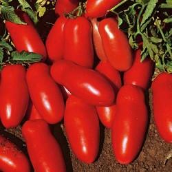 Pomidor Fenak F1 - 1000 nasion