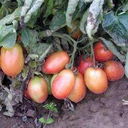 Pomidor Keplero F1 - 1000 nasion