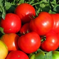 Pomidor Bilbo F1 - 1000 nasion