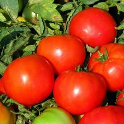 Pomidor Rovan F1 - 1000 nasion