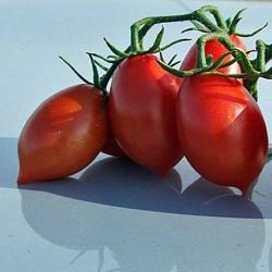 Pomidor Principino F1 - 1000 nasion