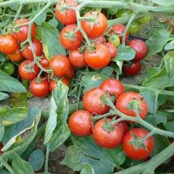 Pomidor Renzino  F1 - 1000 nasion