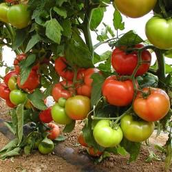 Pomidor Degheio  F1 - 250 nasion