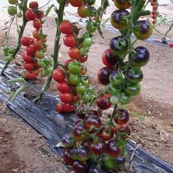 Pomidor Indigo rose F1 - 250 nasion