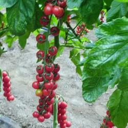 Pomidor Dodo F1 - 250 nasion