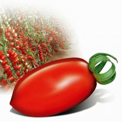 Pomidor Lobello F1 - 250 nasion