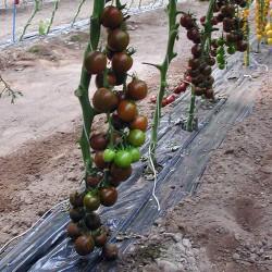 Pomidor Crispino F1 - 250 nasion
