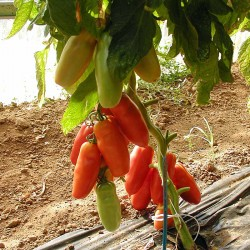 Pomidor Corinzio F1 - 250 nasion