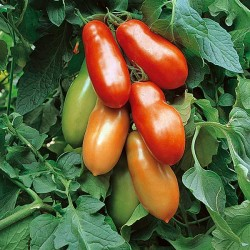 Pomidor Adamo Green F1 - 250 nasion