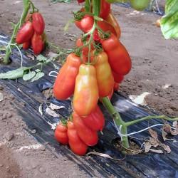 Pomidor Giano F1 - 250 nasion