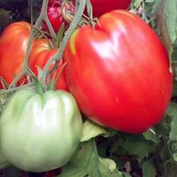 Pomidor Cuor di Bue Calabrese - 1000 nasion