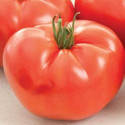 Pomidor B123 F1*** - 100 nasion