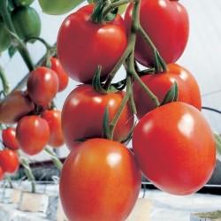 Pomidor Myriade F1 - 500 nasion