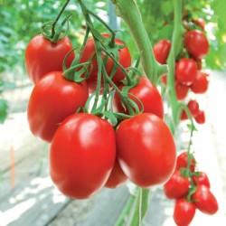 Pomidor Cascade F1 - 100 nasion