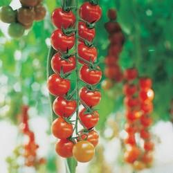 Pomidor Tyfrane F1 - 1000 nasion