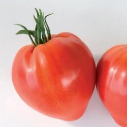 Pomidor Cauralina F1 - 100 nasion